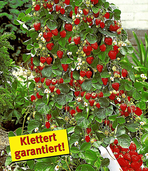 Kletter erdbeere 39 hummi 39 und dekor erdbeeren bei baldur for Dekor und garten