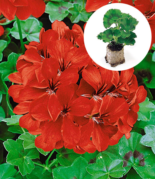 h nge geranie 39 rot 39 h ngepflanzen jungpflanzen bei baldur garten. Black Bedroom Furniture Sets. Home Design Ideas