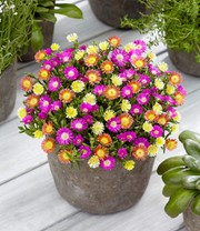 Winterharte Eisblumen 'Summer Mix'