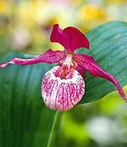 sibirische frauenschuh orchidee orchideen winterhart bei baldur garten. Black Bedroom Furniture Sets. Home Design Ideas