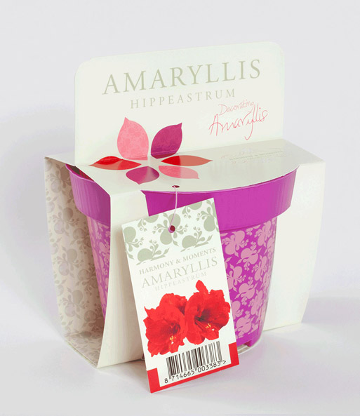 Amaryllis im Topf 'Red Lion'