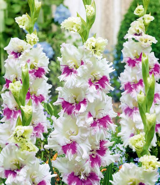 riesen gladiole kirov top qualit t kaufen baldur garten
