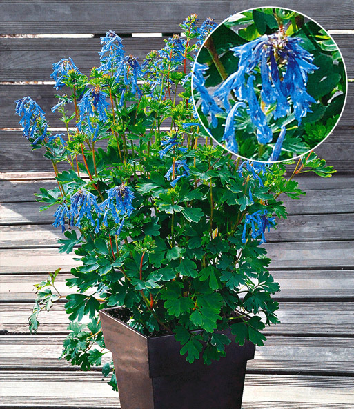 Corydalis 'Blue Line®'
