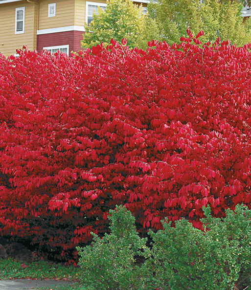 Euonymus Compact 'Burning Bush'