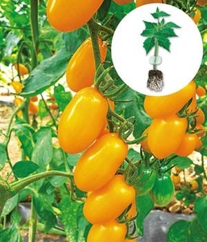 tomaten jungpflanzen online kaufen bestellen bei baldur garten. Black Bedroom Furniture Sets. Home Design Ideas