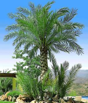 winterharte palmen lassen sich auch in mitteleurop ischen gefilden hervorragend anpflanzen eine. Black Bedroom Furniture Sets. Home Design Ideas
