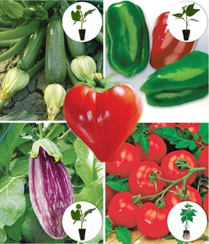 zucchini jungpflanzen online kaufen bestellen bei baldur garten. Black Bedroom Furniture Sets. Home Design Ideas