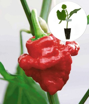 Chilli 'Scotch Bonnet'