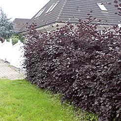 heckenpflanzen jetzt online kaufen bestellen bei baldur. Black Bedroom Furniture Sets. Home Design Ideas