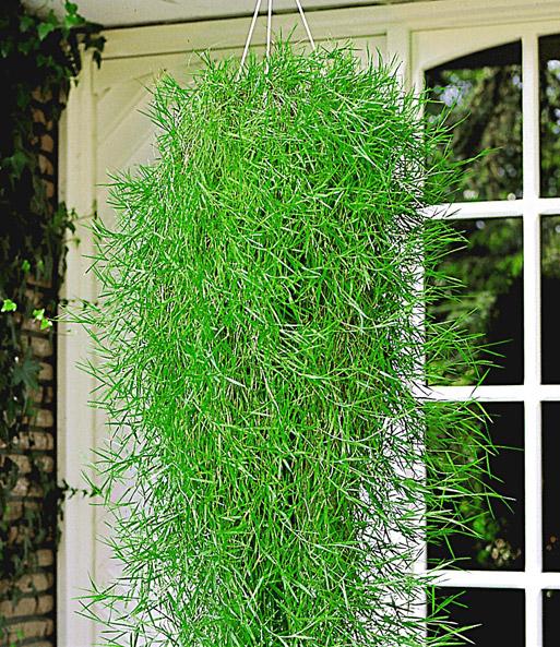 Hangender Bambus Green Twist Bambus Bei Baldur Garten