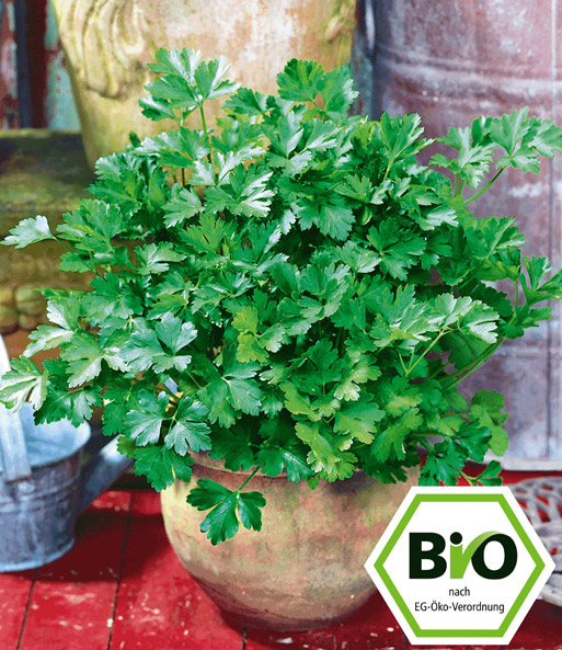 Bio petersilie glatt 1a pflanzen online kaufen baldur for Garten pflanzen bestellen