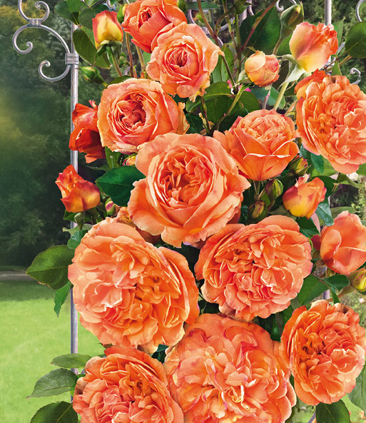 Kletterrose 'Papi Delbard®': 1A-Rosenpflanzen Bestellen | Baldur