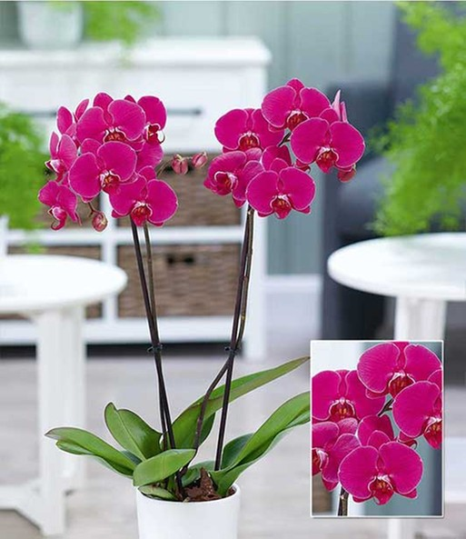 phalaenopsis orchidee 39 rosa 39 1a zimmerpflanzen online. Black Bedroom Furniture Sets. Home Design Ideas