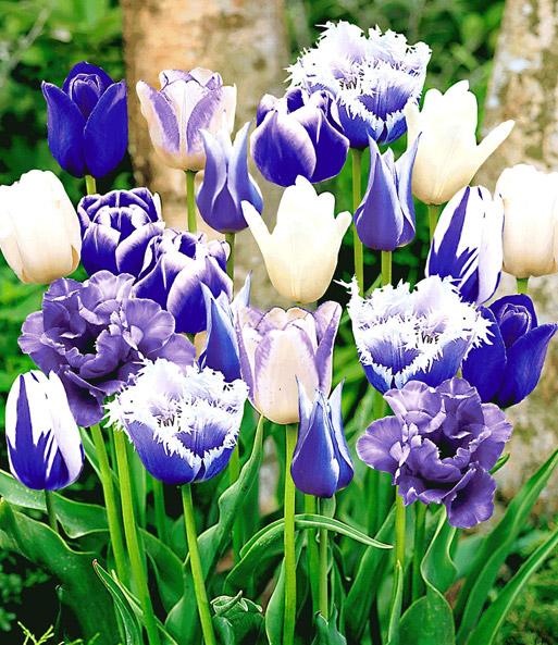 tulpen mix 39 perfect partners 39 39 blu tulpen bei baldur garten. Black Bedroom Furniture Sets. Home Design Ideas