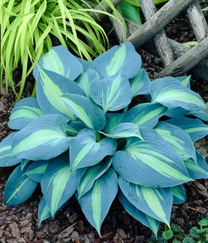 Schneckenresistente Hosta 'Touch of Class'