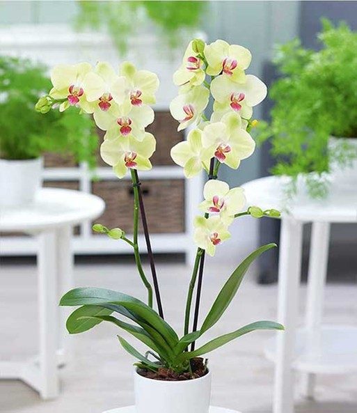 phalaenopsis orchidee 1a qualit t baldur garten. Black Bedroom Furniture Sets. Home Design Ideas
