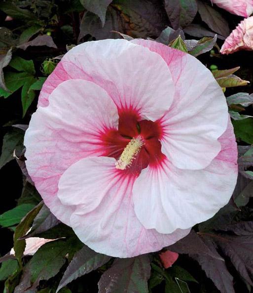 winterharter hibiskus 39 summerific 39 stauden kollektionen bei baldur garten. Black Bedroom Furniture Sets. Home Design Ideas