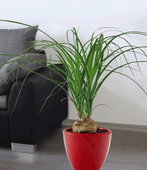 elefantenfu 1a zimmerpflanzen online kaufen baldur garten. Black Bedroom Furniture Sets. Home Design Ideas