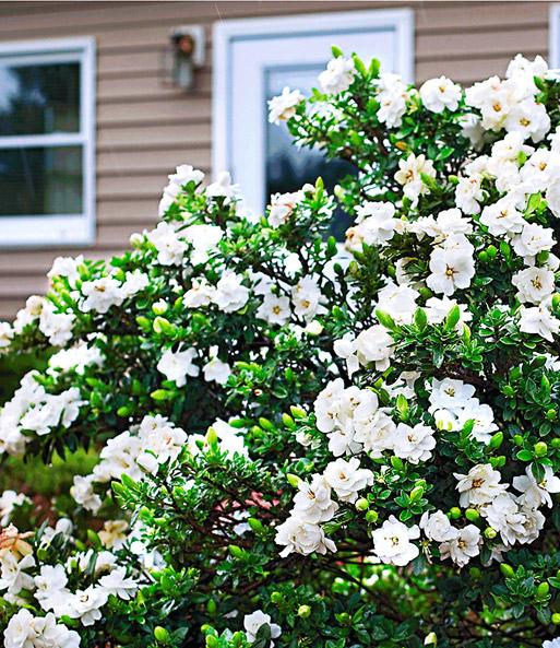 duft gardenia 39 crown jewel 39 bl hende str ucher bei. Black Bedroom Furniture Sets. Home Design Ideas