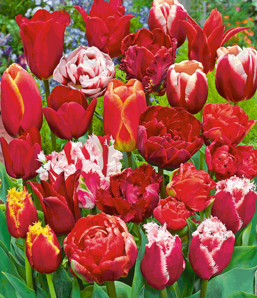 Tulpen-Mix 'Perfect Partners®' 'Red Blend'