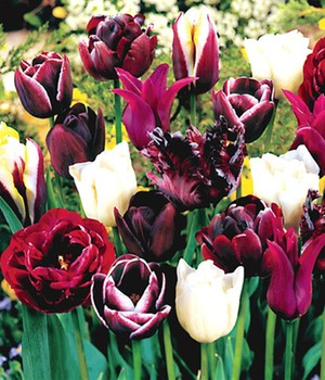 Tulpen-Mix 'Perfect Partners®' 'Black Blend'