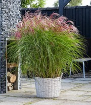 Miscanthus 'Red Cloud®'
