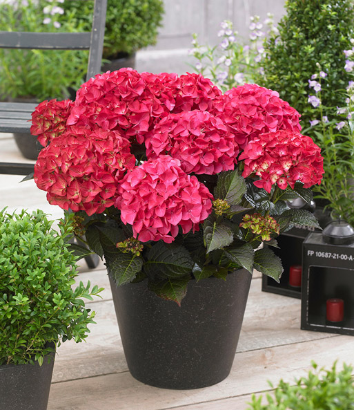 Hydrangea Black Diamonds® 'Red Angel'