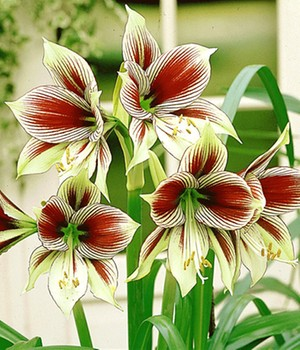 Amaryllis 'Papilio Butterfly'