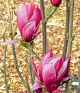 Magnolie 'March Till Frost'