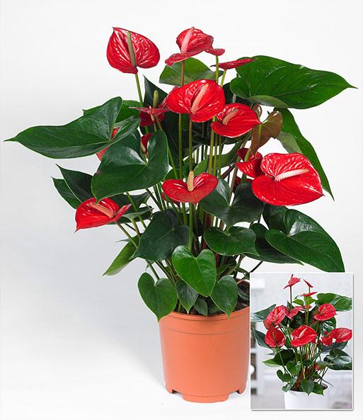 flamingoblume 39 rot 39 1a zimmerpflanzen online kaufen baldur garten. Black Bedroom Furniture Sets. Home Design Ideas