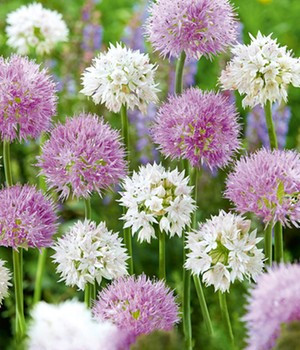Allium-Mix 'Beautiful Rosy'