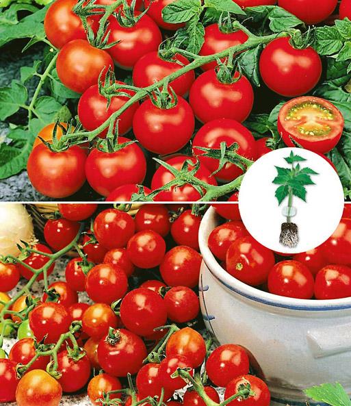 kollektion 39 veredelte tomaten 39 1a qualit t baldur garten. Black Bedroom Furniture Sets. Home Design Ideas
