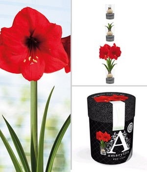 Amaryllis im Glas 'Red Lion'