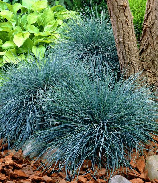 ziergraser winterhart ziergras elijah blue graser sichtschutz