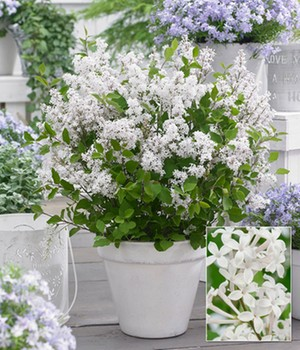 Flieder 'Flowerfest White®'