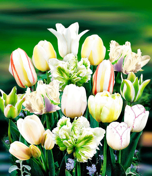 Tulpen-Mix 'Perfect Partners®' 'White Blend'