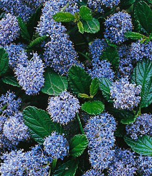 ceanothus 39 trewithen blue 39 immergr n auch im winter bei. Black Bedroom Furniture Sets. Home Design Ideas