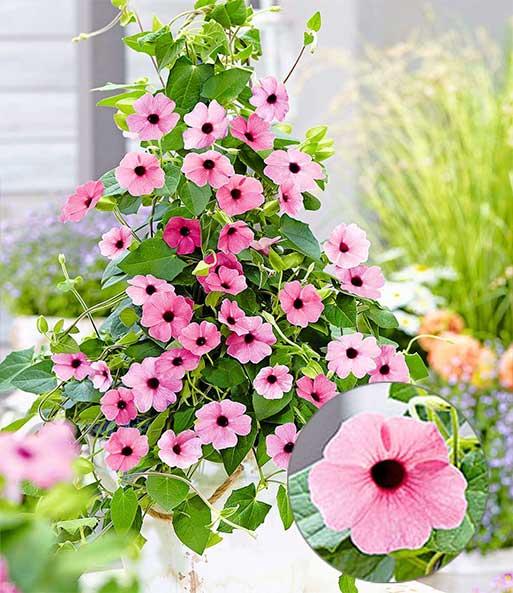 rosa thunbergia pink surprise 1a qualit t baldur garten. Black Bedroom Furniture Sets. Home Design Ideas