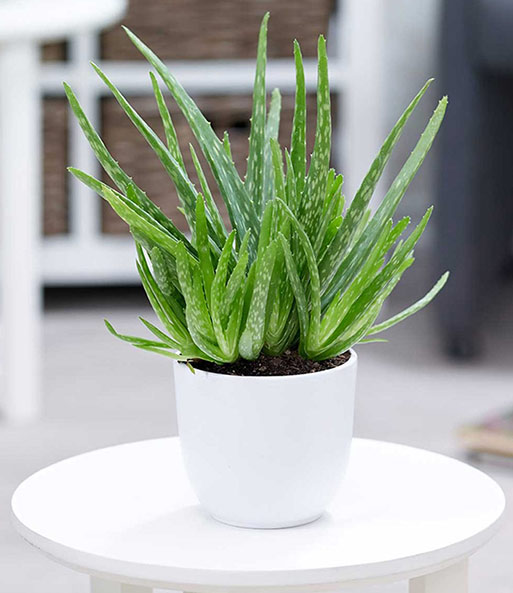 zimmerpflanzen mix 39 gr ne lieblinge 39 1a zimmerpflanzen online kaufen baldur garten. Black Bedroom Furniture Sets. Home Design Ideas
