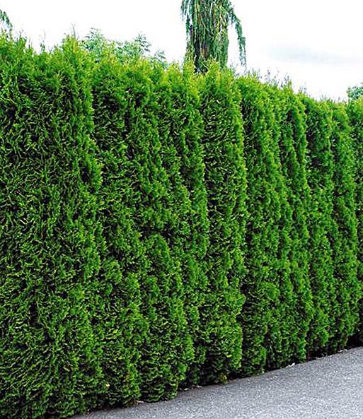 Beliebt Bevorzugt Lebensbaum-Hecke Thuja Smaragd: 1A-Pflanzen | BALDUR-Garten #AM_35