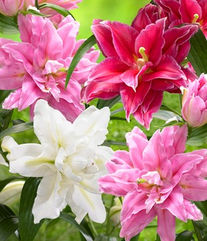 Lilien-Mix 'Oriental Dreams'