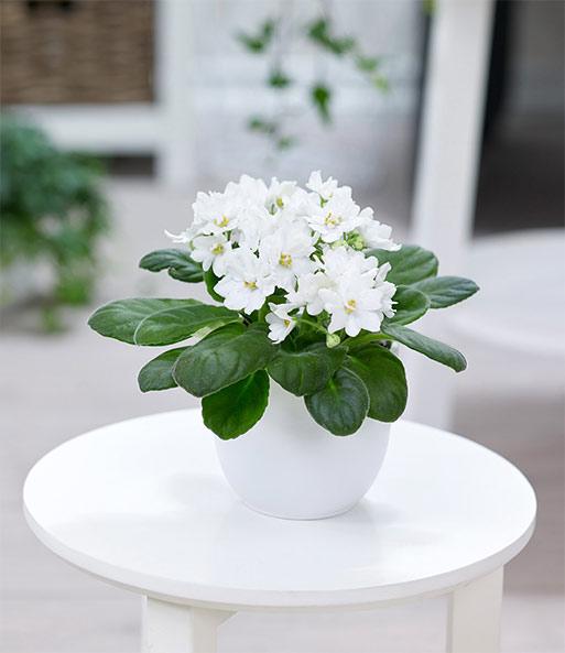 saintpaulia usambaraveilchen 39 wei 39 1a zimmerpflanzen. Black Bedroom Furniture Sets. Home Design Ideas