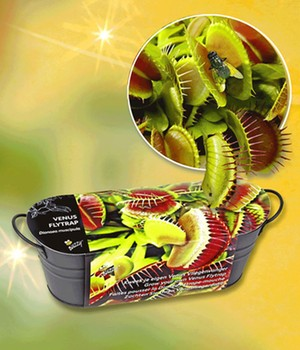 Venusfliegenfalle Pflege Dionaea Muscipula