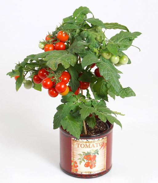 tomatenpflanze mit fr chten 39 direkt tomaten bei baldur garten. Black Bedroom Furniture Sets. Home Design Ideas