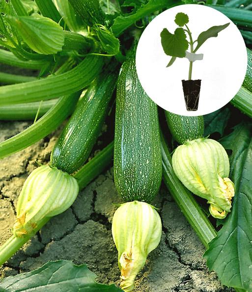 zucchini kollektion zucchini jungpflanzen bei baldur garten. Black Bedroom Furniture Sets. Home Design Ideas