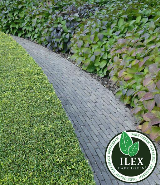 ilex strauch dark green top qualit t kaufen baldur garten. Black Bedroom Furniture Sets. Home Design Ideas