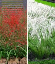 Carex \'Bronze Reflection\' | Ziergräser bei BALDUR-Garten