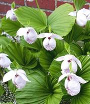 sibirische frauenschuh orchidee 1a qualit t kaufen. Black Bedroom Furniture Sets. Home Design Ideas