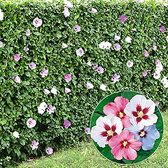 Heckenpflanzen jetzt online kaufen & bestellen bei BALDUR-Garten
