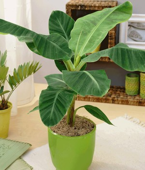 winterharte banane pflege musa basjoo sakalinensis. Black Bedroom Furniture Sets. Home Design Ideas
